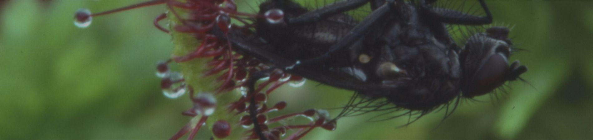 The image shows a fly trapped by glandular hairs on a leaf of Cape Sundew. The fly is approximately 1 cm long.