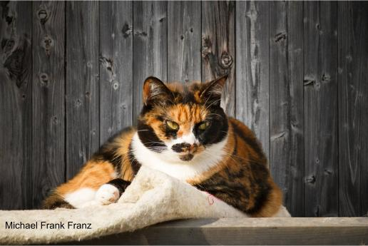 Cat coat colour is controlled by both genetic and epigenetic factors.