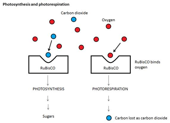 photosynthesis_and_photorespiration