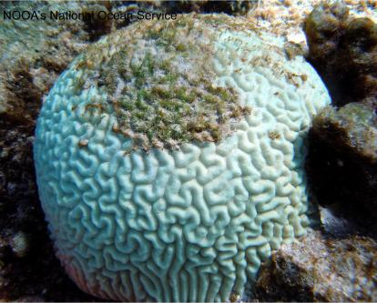 Not what you normally mean when you say your brain needs bleaching. Brain coral with all the symbiotic algae expelled.