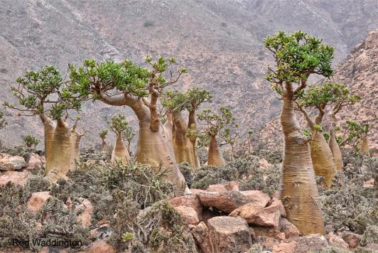 The bottle tree is endemic to the island of Socotra. it's the only member of the cucumber family (Cucurbitaceae) to grow as a tree.
