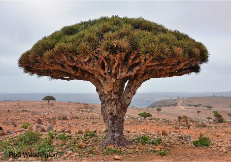 The Socotra dragon tree 'bleeds' red when it's cut, with a sap traditionally used for medicinal purposes.