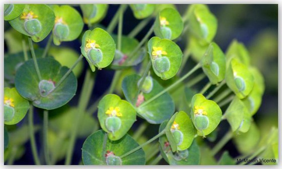 Euphorbia plants give off a toxic latex that functions as an 'anti-sunscreen' - making your skin much more sensitive to the sun.