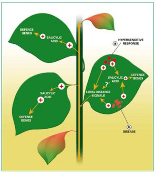 Figure 2. Systemic acquired resistance Infection by pathogens often induces systemic acquired resistance (SAR). Infection-related cell death: resulting either from the hypersensitive response (a), or from disease (b), promotes the synthesis of salicylic acid in the infected leaf. In turn, salicylic acid promotes the activity of defence related genes.  The infected leaf exports long-distance signals that induce salicylic acid  synthesis – and consequently defence-related gene expression – in the rest of the plant. The nature of these signals is unknown, but they may include salicylic acid itself, which is exported from infected leaves.