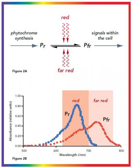 Figure 2. Phytochrome photoconversion All phytochromes exist in two forms, called Pr and Pfr. a) Phytochromes are synthesised as Pr. Light absorption by Pr converts it to Pfr, initiating signals to the rest of the cell. Light absorption by Pfr converts it back to Pr. b) Pr and Pfr have different absorption spectra. Pr absorbs light most strongly in the red region of the spectrum, whereas light absorption by Pfr is highest in the far red region. Therefore, plants exposed to red light contain mostly Pfr, while plants exposed to far red light contain mostly Pr.