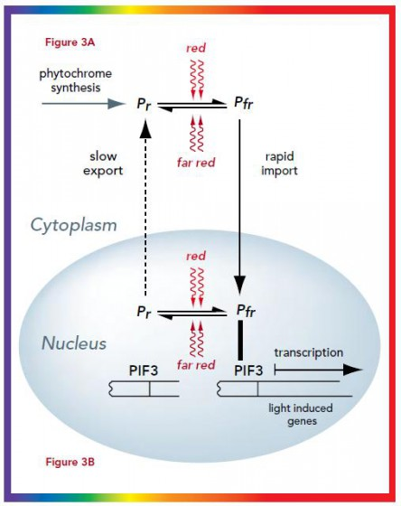 Figure 3. Phytochrome regulates gene expression a) Phytochromes are synthesised as Pr in the cytoplasm. Light absorption by Pr converts it to Pfr and induces the transport of phytochromes into the nucleus (over a period of minutes to hours) where it collects in 'speckles'. Conversion of Pfr to Pr causes export from the nucleus, but at a very slow rate (taking 24 to 36 hours to complete). Therefore, in the light phytochromes exist predominantly in the nucleus. b) In the nucleus, Pfr but not Pr binds to the transcription factor PIF3 and induces the transcription of light regulated genes.
