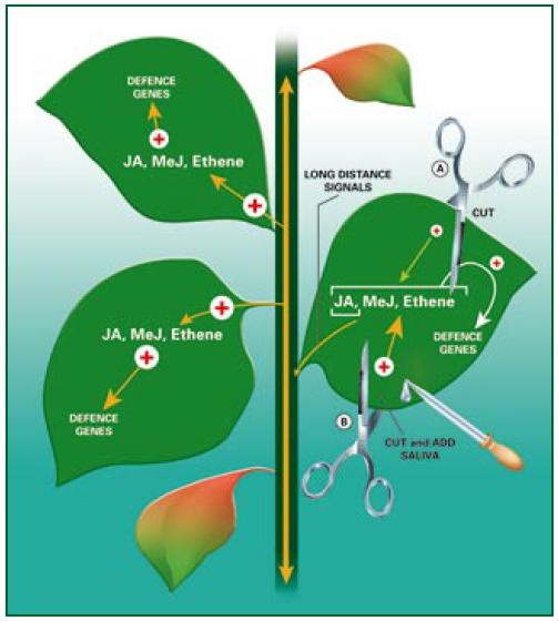 Figure 3. Wound responses Wounds caused by herbivores induce a group of defences distinct from those that lead to systemic acquired resistance (see fig. 2). These defences can be induced by mechanically wounding the plant (a), but are greater if saliva is added to the cut (b). Such treatments promote the synthesis of jasmonic acid (JA), methyl jasmonate (MeJ) and ethene, which collectively activate defence related genes. The wounded leaf also exports long distance signals (which may include JA) to the rest of the plant. These signals induce JA, MeJ and ethene synthesis in undamaged tissues, leading systemic herbivore resistance.