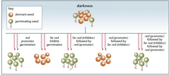 Figure 5. The effects of red and far red light on germination Germination in lettuce seeds is promoted by red light but inhibited by far red light. When alternating red and far red illumination is given, the germination rate depends only on the final colour. This phenomenon was the key to the discovery of phytochromes