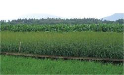 Variation in photosynthesis drives yield. Rice (foreground) which uses C3 photosynthesis grows at approximately half the rate of species using the more efficient C4 pathway