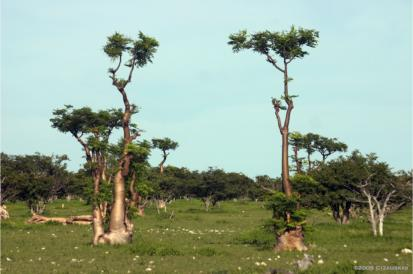 Moringa trees in Namibia